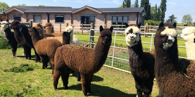 Stanger Alpacas Spring 2018
